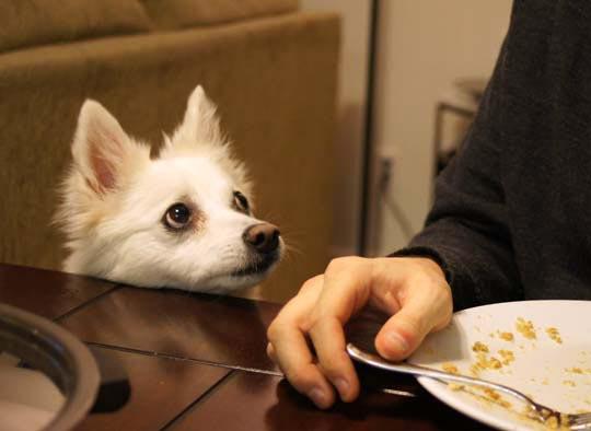 dog looking at someone eating