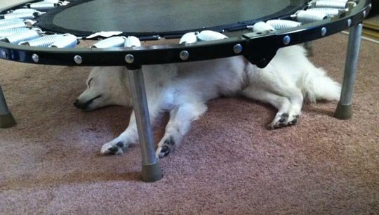 dog sleeping under a small trampoline
