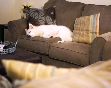 dog laying on a sofa