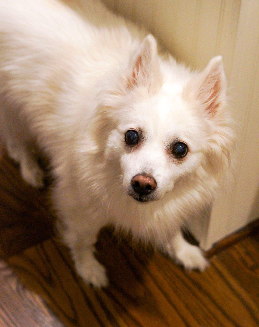 miniature eskimo dog